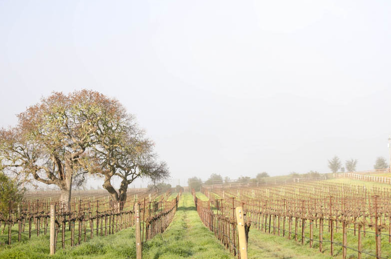 Rizzuto vineyard shot
